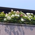 ベランダのバラ