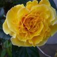 黄色のつるバラ